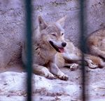 Title: Iranian Wolf in Captivity