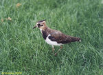 Title: Lapwing