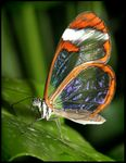 Title: Fascinating transparent wings ...