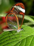 Title: Phascinating Glasswing for Heinz