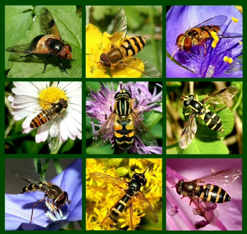 Syrphidae - buzzing jewels in summer ...