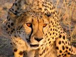 Title: cheetah conservation?