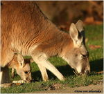 Title: Kangoroo Mum with her baby