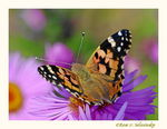 Title: Painted Lady(Vanessa cardui)