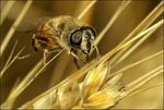 Title: syrphid fly(?)