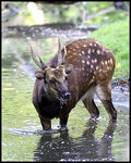 Title: Philippine spotted deer