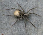 Title: Spider with egg-sac
