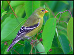 Title: Female Goldfinch