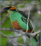 Title: Golden-eared Tanager - adult male