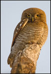 Title: Juvenile Asian Barred Owlet