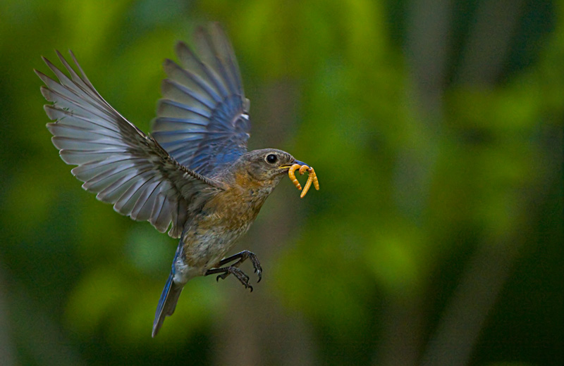Female Bluebird flying to chicks