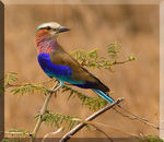Title: Lilac Breasted Roller