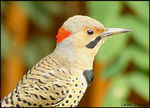 Title: Norther Flicker