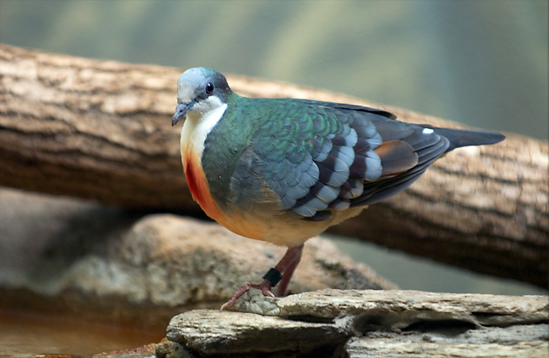 Philippine Bleeding Heart Pigeon