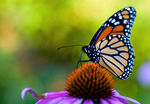 Title: Monarch on Coneflower