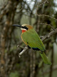 Title: Whitefronted Bee-eater