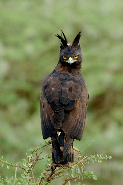 Long- crested Eagle
