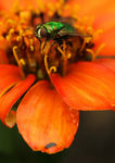 Title: texas fly on zinnia