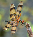 Title: dragon fly