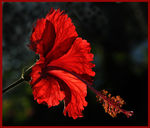 Title: Glowing Hibiscus