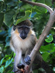 Title: Barbados Green Monkey