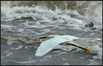 Title: Snowy Egret at Sea