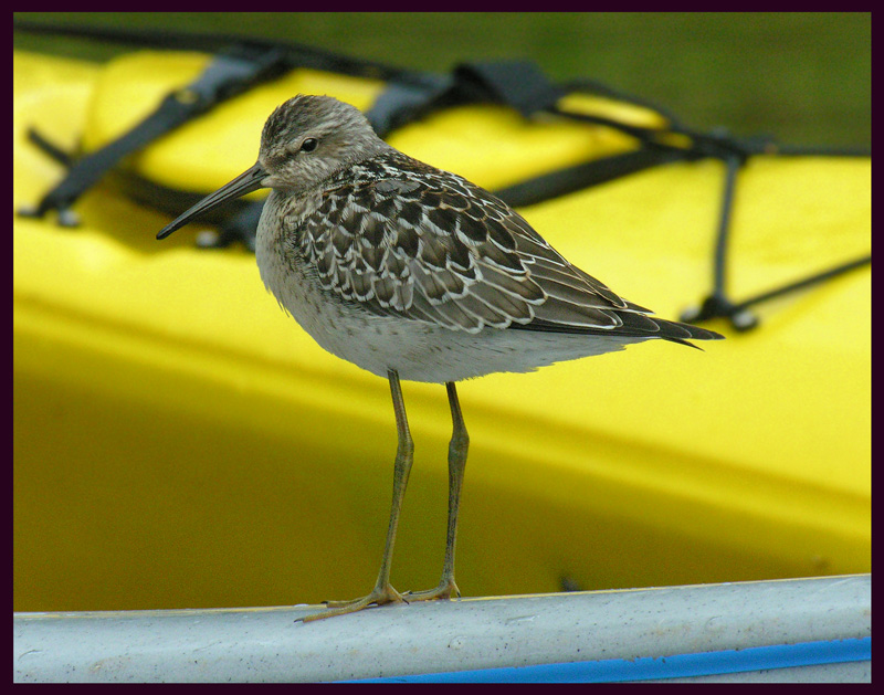 Hitchiking Sandpiper