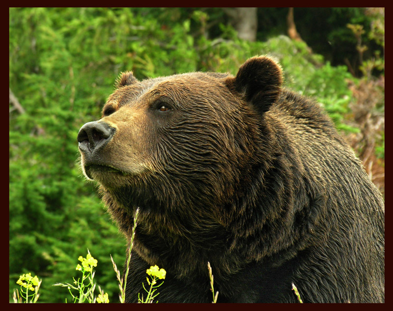 Ursus Horribilis trying to smile