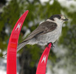 Title: The Ski Bird