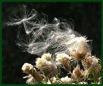 Title: Thistledown take-off