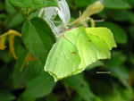 Title: The leaf-butterfly / A borboleta-folha