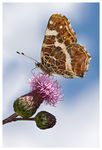 Title: Map Butterfly