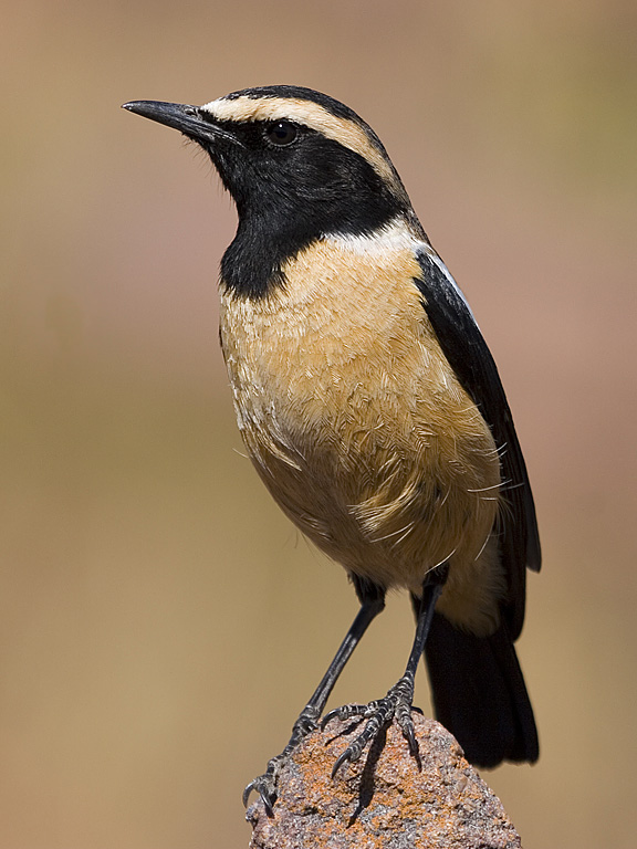 Buff-Streaked Chat