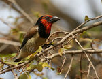 Title: Blackcollared Barbet