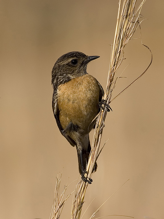 African (Common) Stonechat