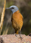 Title: Cape Rock Thrush