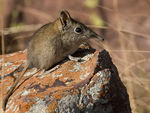 Title: Eastern rock elephant-shrew Camera: Canon 20D