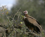 Title: Hooded vulture in waiting