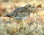 Title: Spotted Thick-knee