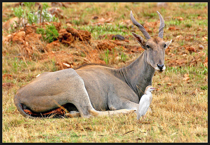 This is my Eland!