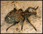 Title: Prong-Tailed Weevil