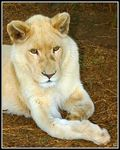 Title: White Lion (Continued)
