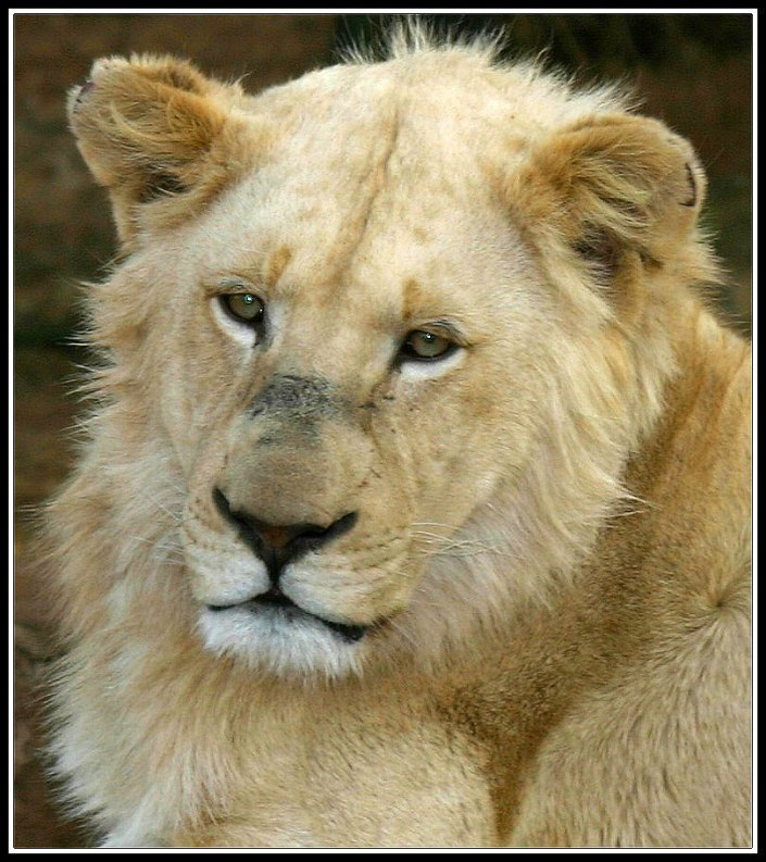 Timbavati White Lion