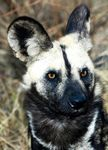 Title: African Wild Dog Camera: Canon EOS 300D