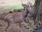 Title: Stag