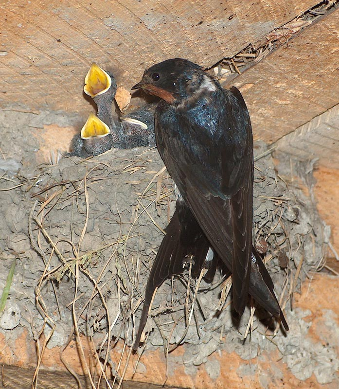Swallow mom
