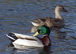Title: Mallard and Mate