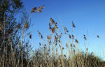 Title: The Reed Bed