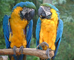 Title: Macaws