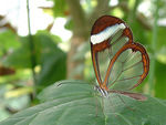 Title: Greta oto (Glasswing Butterfly)Fuji Finepix 4900Z